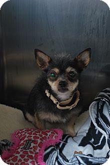 Chihuahua Mix Dog for adoption in Berea, Ohio - Leila