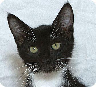 Domestic Shorthair Kitten for adoption in Sacramento, California - Lizzie M