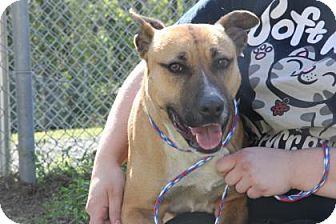 Shepherd (Unknown Type)/Pit Bull Terrier Mix Dog for adoption in Greensboro, North Carolina - Kimber