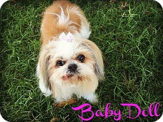 Shih Tzu Dog for adoption in Phoenix, Arizona - BABYDOLL