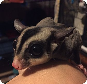 Sugar Glider for adoption in St. Paul, Minnesota - Snap