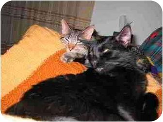 Domestic Shorthair Cat for adoption in Proctor, Minnesota - Boomerang