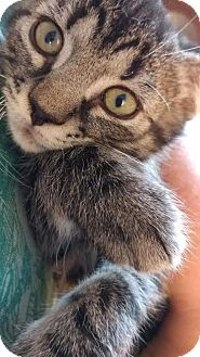 Domestic Shorthair Kitten for adoption in Concord, North Carolina - Ashton