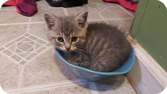 Domestic Shorthair Kitten for adoption in Morgantown, West Virginia - Gaz