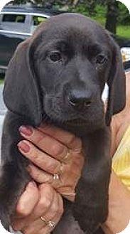 Redbone Coonhound/Labrador Retriever Mix Puppy for adoption in Brattleboro, Vermont - Damzel