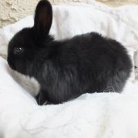 Adopt A Pet :: Bengii - Edmonton, AB