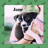 Adopt A Pet :: Jane - WESTMINSTER, MD