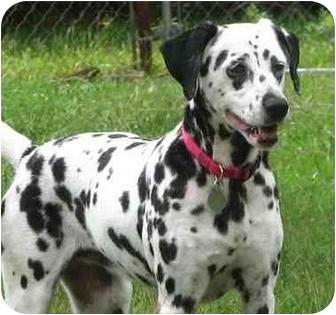 Dalmatian Dog for adoption in Upper Marlboro, Maryland - PURDY