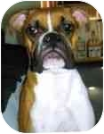 Boxer Dog for adoption in Gainesville, Florida - Kenny