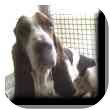 Basset Hound Dog for adoption in Marietta, Georgia - Barret