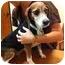 Photo 1 - Beagle Mix Dog for adoption in Phoenix, Arizona - Abby June