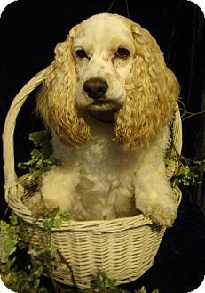 Cocker Spaniel Dog for adoption in Sugarland, Texas - Sheldon