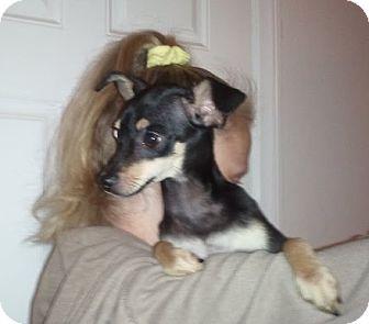 Italian Greyhound/Miniature Pinscher Mix Puppy for adoption in Encinitas, California - Rambo
