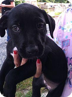Labrador Retriever Mix Dog for adoption in Waldorf, Maryland - Leah