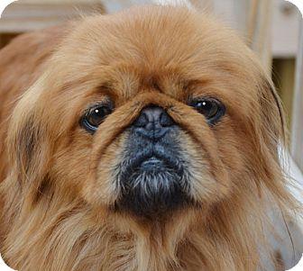 Pekingese Mix Dog for adoption in Plainfield, Connecticut - Alvin