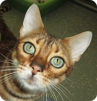 Bengal Cat for adoption in Pueblo West, Colorado - Zena