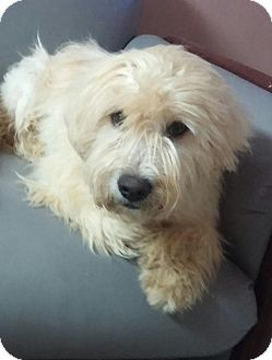 Wheaten Terrier/Terrier (Unknown Type, Medium) Mix Dog for adoption in Miami, Florida - Hansel