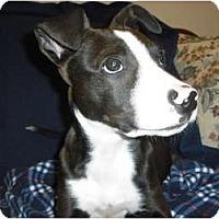 Adopt A Pet :: Murphy - Wickenburg, AZ