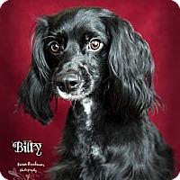 Adopt A Pet :: Billy - Rancho Mirage, CA