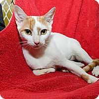 Adopt A Pet :: Nicoletta - New York, NY