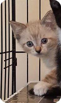 Snowshoe Kitten for adoption in Irvine, California - Josh