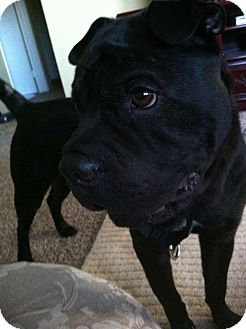 Shar Pei Dog for adoption in Apple Valley, California - Oreo - CGC- adoption pending