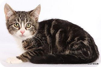 Domestic Shorthair Kitten for adoption in Las Vegas, Nevada - Nathan