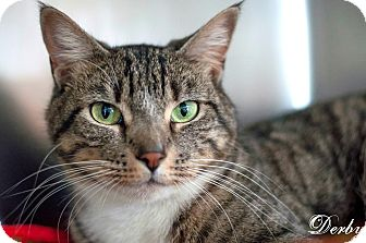 Domestic Shorthair Cat for adoption in Manahawkin, New Jersey - Derby