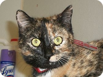 Domestic Shorthair Cat for adoption in Martinsville, Indiana - Amber