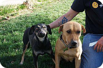 Labrador Retriever/Shepherd (Unknown Type) Mix Dog for adoption in Studio City, California - MIMI