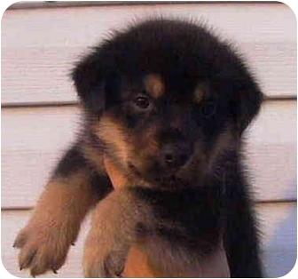Rottweiler/Labrador Retriever Mix Puppy for adoption in Vine Grove, Kentucky - Elton