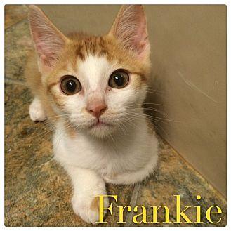 Domestic Shorthair Kitten for adoption in El Dorado Hills, California - Frankie