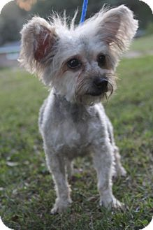 Yorkie, Yorkshire Terrier/Poodle (Miniature) Mix Dog for adoption in Staunton, Virginia - Sally