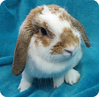 Lop-Eared Mix for adoption in Los Angeles, California - Sunflower