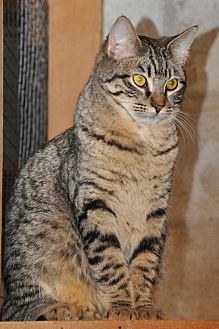 Domestic Mediumhair Cat for adoption in Wagoner, Oklahoma - Lucky