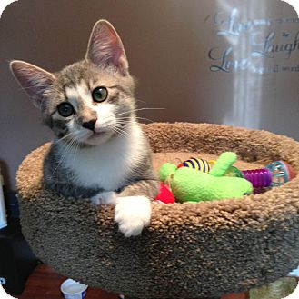 Domestic Shorthair Kitten for adoption in Knoxville, Tennessee - Cam