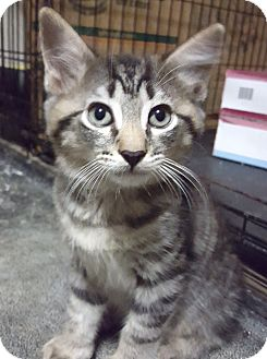 Domestic Shorthair Kitten for adoption in Savannah, Georgia - Sweetie