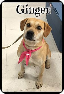 Labrador Retriever Mix Dog for adoption in Spring Valley, New York - Ginger (reduced fee)