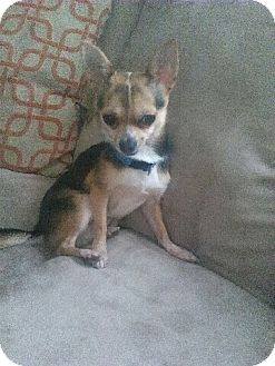 Chihuahua Puppy for adoption in cleveland, Ohio - Pete