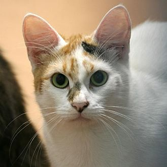 Domestic Shorthair Cat for adoption in Aberdeen, Washington - Flowerbell