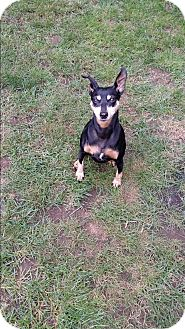Miniature Pinscher Mix Dog for adoption in Grand Rapids, Michigan - Hazel