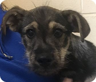 Welsh Terrier/Terrier (Unknown Type, Medium) Mix Puppy for adoption in Winchester, Kentucky - Nibblet