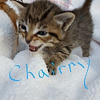 Domestic Shorthair Kitten for adoption in Overland Park, Kansas - Chairry