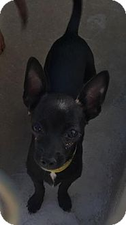 Chihuahua Mix Puppy for adoption in Middleton, Wisconsin - Baby