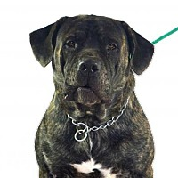 Adopt A Pet :: Meatball - Goodyear, AZ