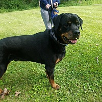 Rottweiler Dog for adoption in Maybrook, New York - Bruno