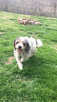 Yorkie, Yorkshire Terrier/Beagle Mix Dog for adoption in Madison, Wisconsin - Dixie (ETAA)