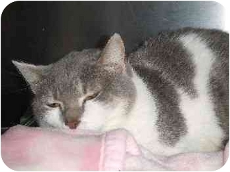 Domestic Shorthair Cat for adoption in Mason City, Iowa - Sassy