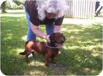 Dachshund Mix Dog for adoption in Olney, Illinois - Freebee