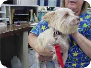 Silky Terrier/Yorkie, Yorkshire Terrier Mix Dog for adoption in Marshalltown, Iowa - Abby